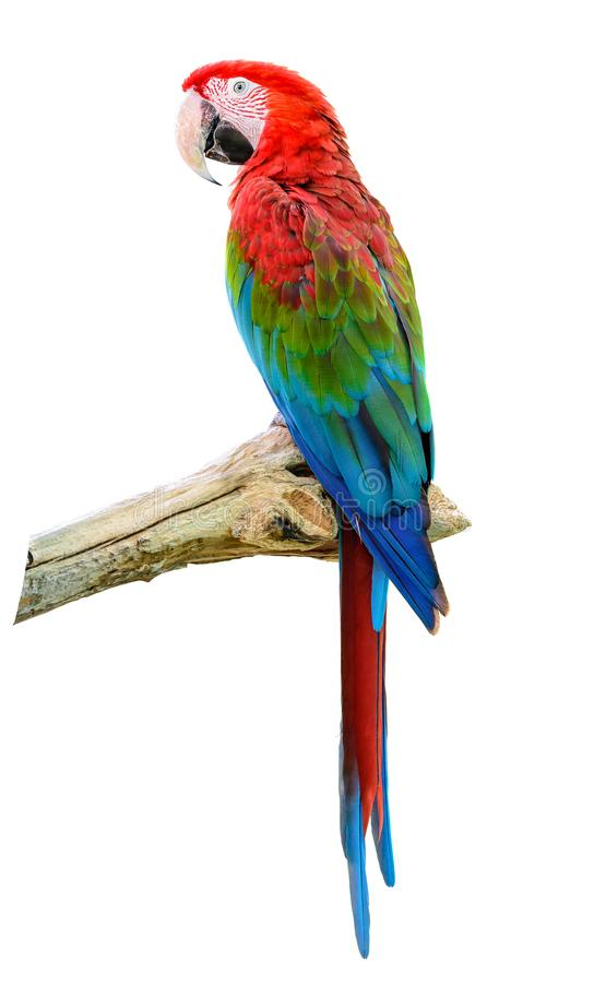 Scarlet Macaw perching on branch. royalty free stock images