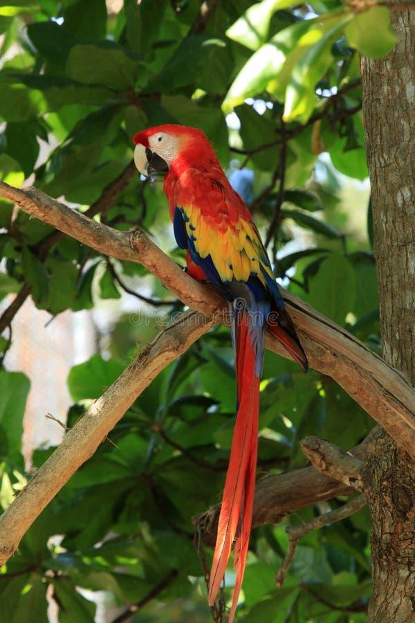 Scarlet Macaw. A Scarlet Macaw at the Santuario De Lapas Natura in Costa Rica royalty free stock photo
