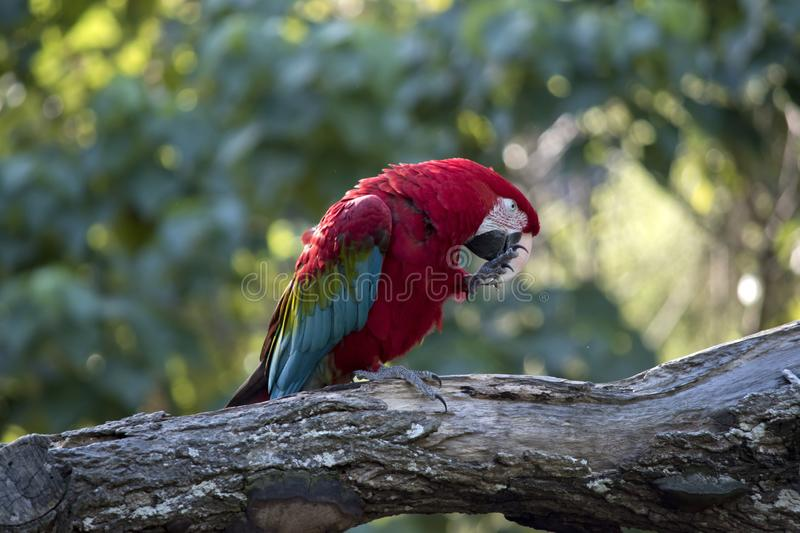 A scarlet macaw stock images
