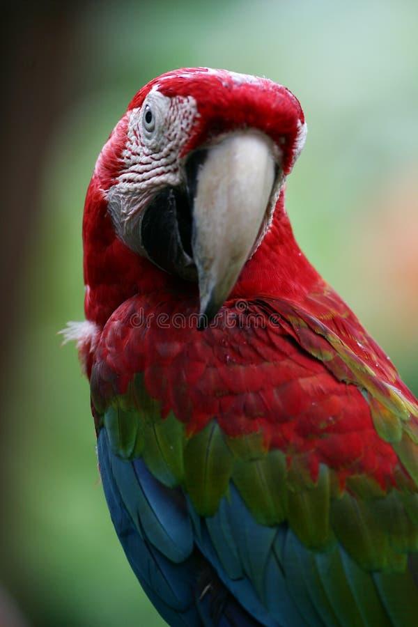 Scarlet Macaws stock photos