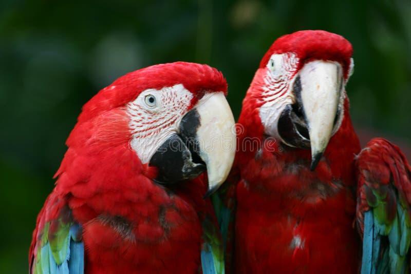 Scarlet Macaws. A shot of Scarlet Macaws up close royalty free stock photos
