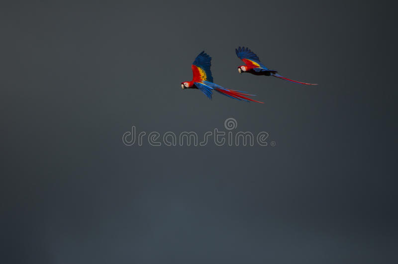 Scarlet Macaws in flight royalty free stock photos