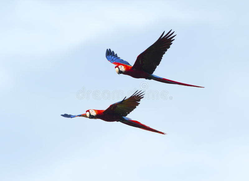 Scarlet macaws flying, corcovado, costa rica red blue parrot. Pair of scarlet macaws flying, carate, corcovado national park, costa rica royalty free stock images