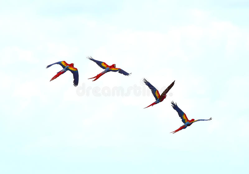 Scarlet macaws flying drake bay, corcovado, costa rica. Flock of wild scarlet macaws flying. corcovado national park, puntarenas, costa rica royalty free stock photos