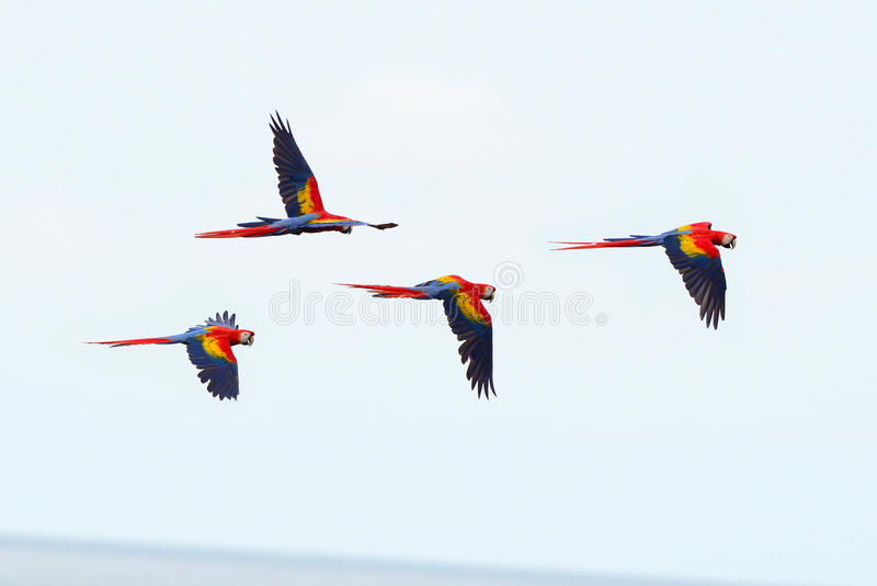 Scarlet macaws flying, drake bay, corcovado, costa rica. Flock of wild scarlet macaws flying near drake bay, corcovado national park, puntarenas, costa rica royalty free stock image