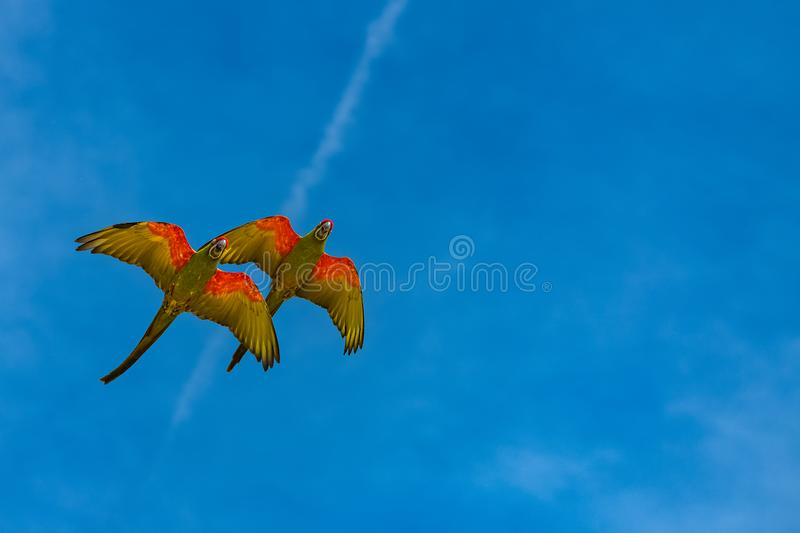 Scarlet macaws, parrots royalty free stock photo