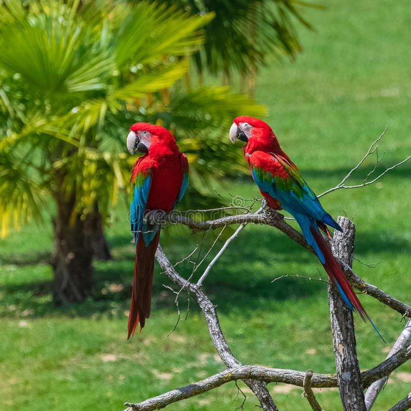 Scarlet macaws, parrots royalty free stock image