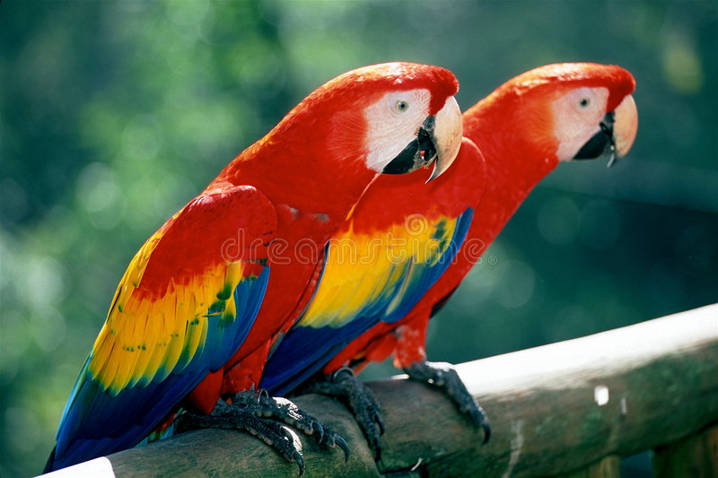 Download Scarlet Macaws on perch stock image. Image of avian, couple - 4194491