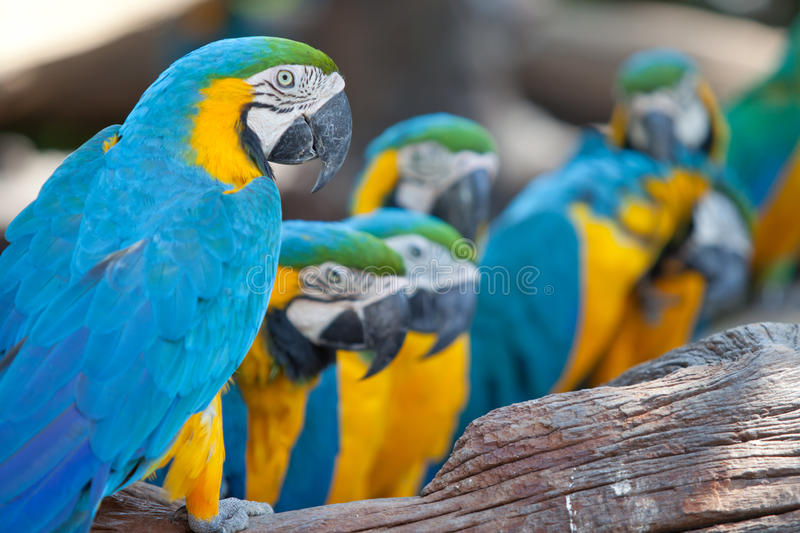 Scarlet macaws. A portrait of beautiful Scarlet macaws stock photos
