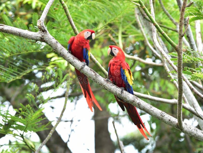 Scarlet macaws tree, corcovado, costa rica. Pair of wild scarlet macaws on tree, carate, corcovado national park, puntarenas, costa rica stock photography