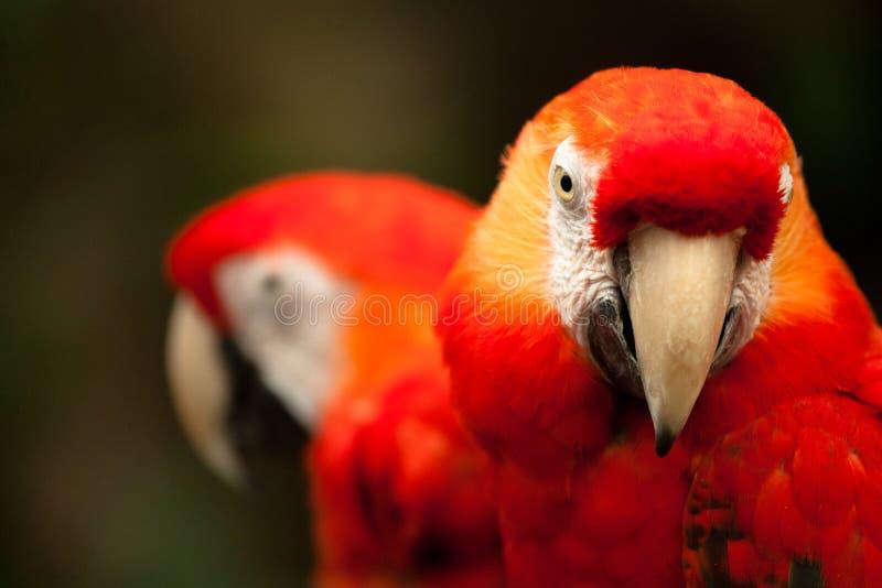 Scarlet Macaws. Two Scarlet Macaws - Ara macao royalty free stock photos