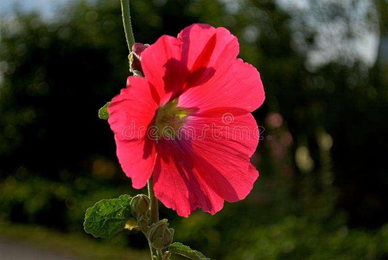 Scarlet mallow flower on a blurred background. Frame made on the plot on the Nikon D3000 royalty free stock photos