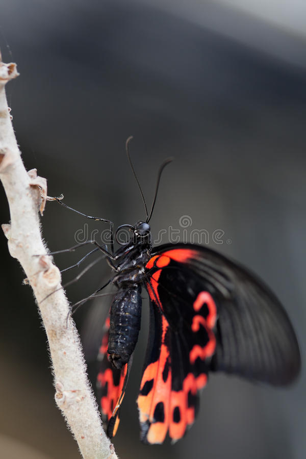 Free Scarlet Mormon Stock Photography - 28967852