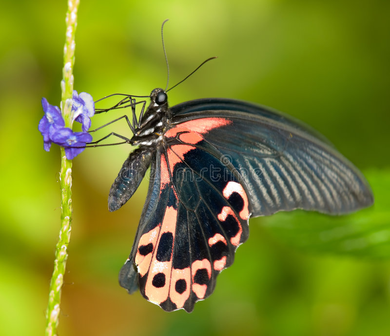 Scarlet Mormon Butterfly. Foraging on the blue flowers of the common snakeweed stock image