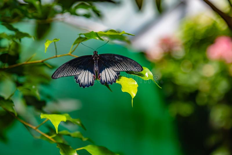 Scarlet mormon swallowtail butterfly perching on a leaf. Scarlet mormon swallowtail butterfly as seen in a Massachusetts butterfly garden stock photography