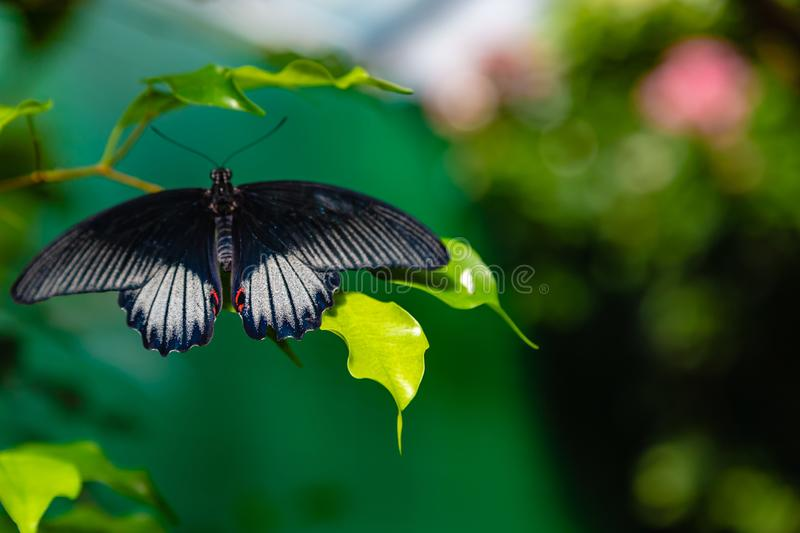 Scarlet mormon swallowtail butterfly perching on a leaf. Scarlet mormon swallowtail butterfly as seen in a Massachusetts butterfly garden royalty free stock image