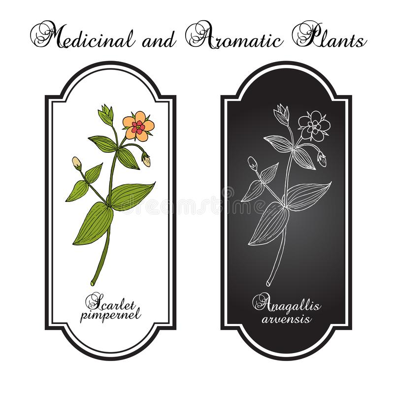 Scarlet pimpernel Anagallis arvensis , or red chickweed, poorman s barometer, shepherd s clock, medicinal plant. Hand drawn botanical vector illustration stock illustration