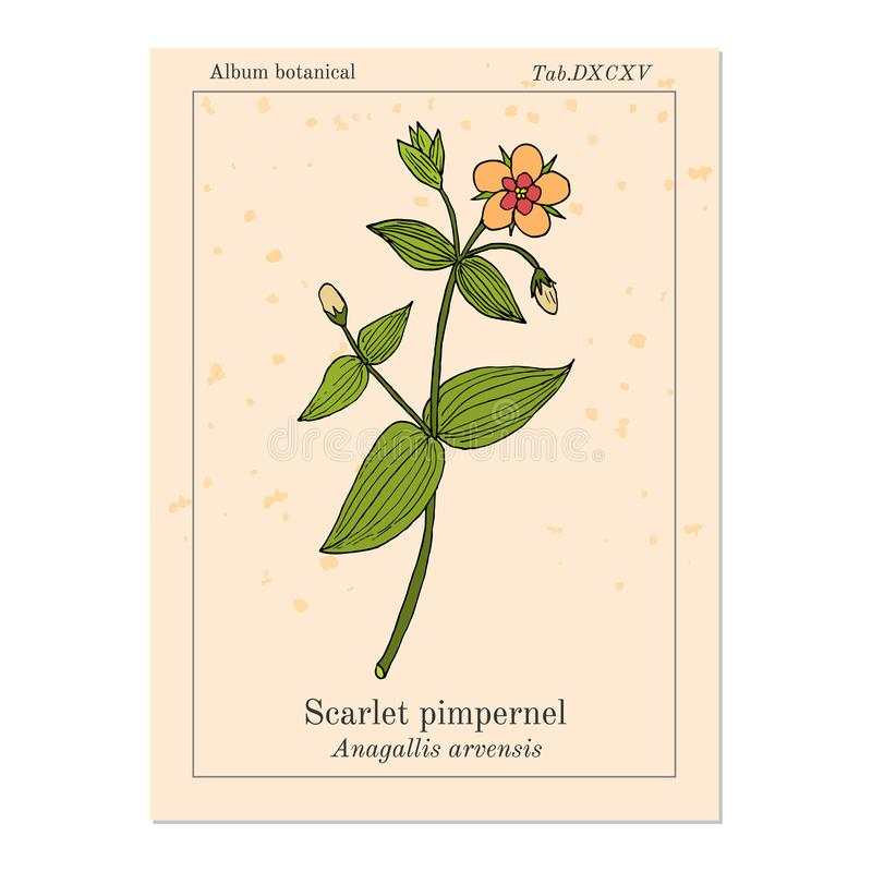 Scarlet pimpernel Anagallis arvensis , or red chickweed, poorman s barometer, shepherd s clock, medicinal plant. Hand drawn botanical vector illustration royalty free illustration