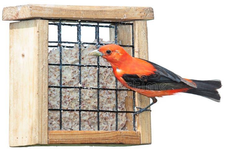 Download Scarlet Plumage stock image. Image of ornithology, cuisine - 34529699