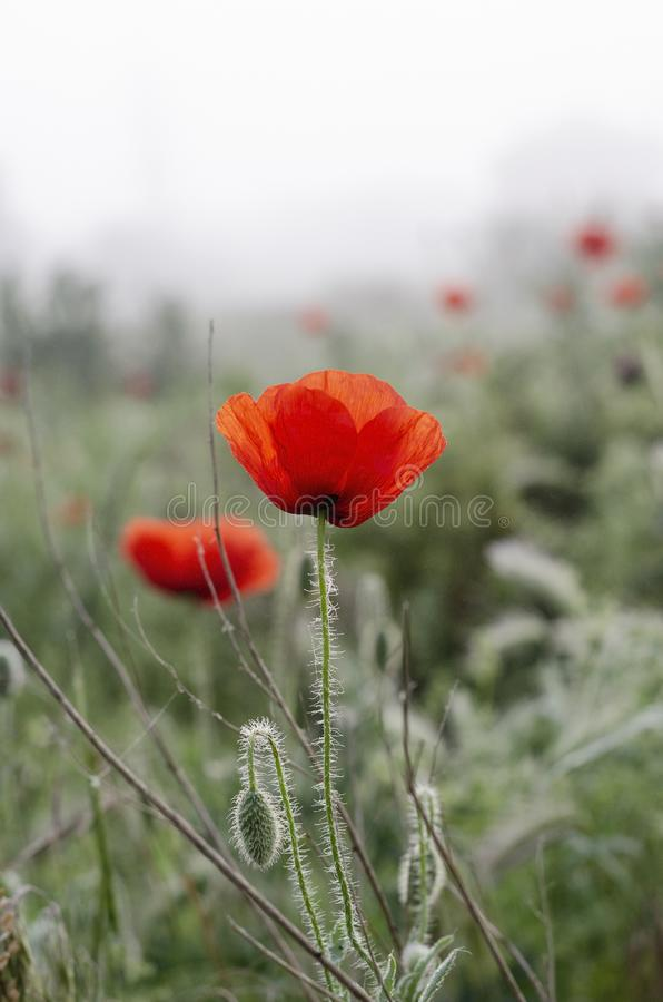 Scarlet poppy flowers in the field. Spring morning Dew drops. Beautiful poppy flower with drops of morning dew. Soft Background stock photography