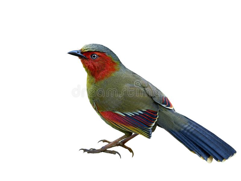 Scarlet or Red-faced Liocichla & x28;Liocichla ripponi& x29; beautiful red stock photo