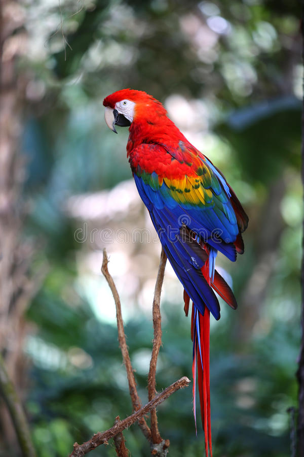 Scarlet red macaw on a branch royalty free stock images