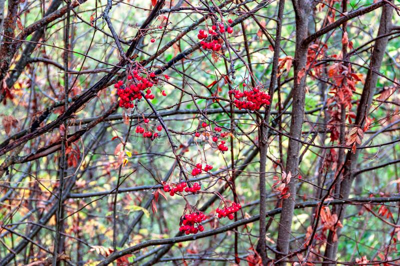 Scarlet red Rowan berries on a tree on branches with dry leaves on green natural background stock image
