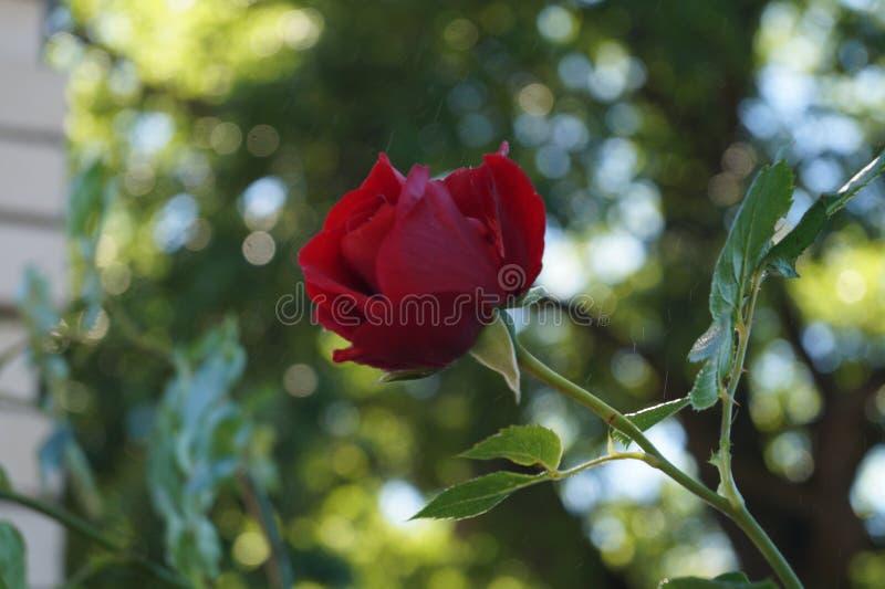 scarlet rose obraz royalty free