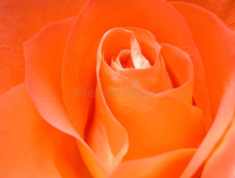 Download Scarlet Rose stock image. Image of details, heart, lovely - 67329