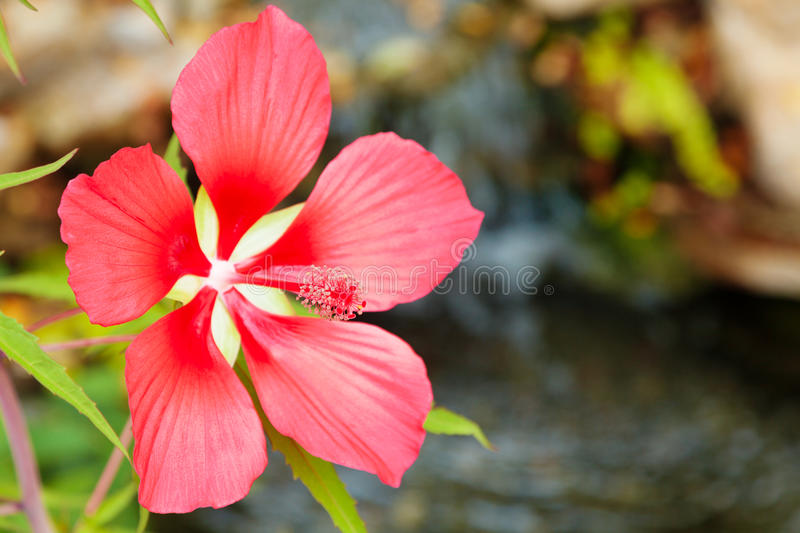 Scarlet Rose Mallow. Closeup image of Scarlet Rose Mallow flower near a creek stock images