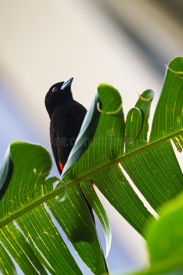 Scarlet rumped tanager or Passerini's Tanager royalty free stock photos