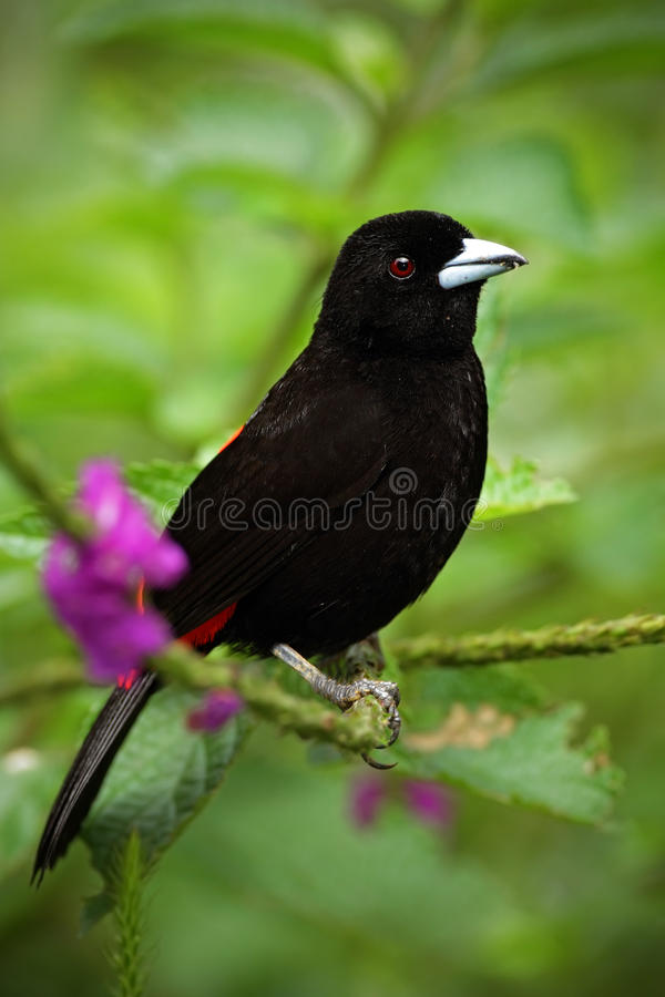 Scarlet-rumped Tanager, Ramphocelus passerinii, exotic black bird in the nature habitat, Costa Rica, with violet flower stock images