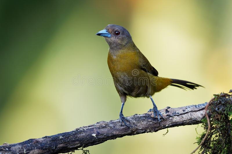 Scarlet-rumped Tanager - Ramphocelus passerinii medium-sized passerine bird. This tanager is a resident breeder in the Caribbean stock photos