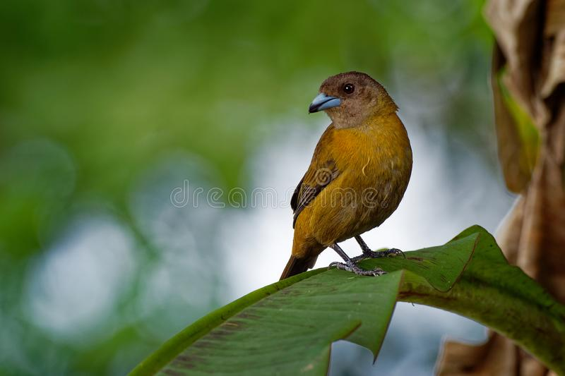 Scarlet-rumped Tanager - Ramphocelus passerinii medium-sized passerine bird. This tanager is a resident breeder in the Caribbean royalty free stock photo