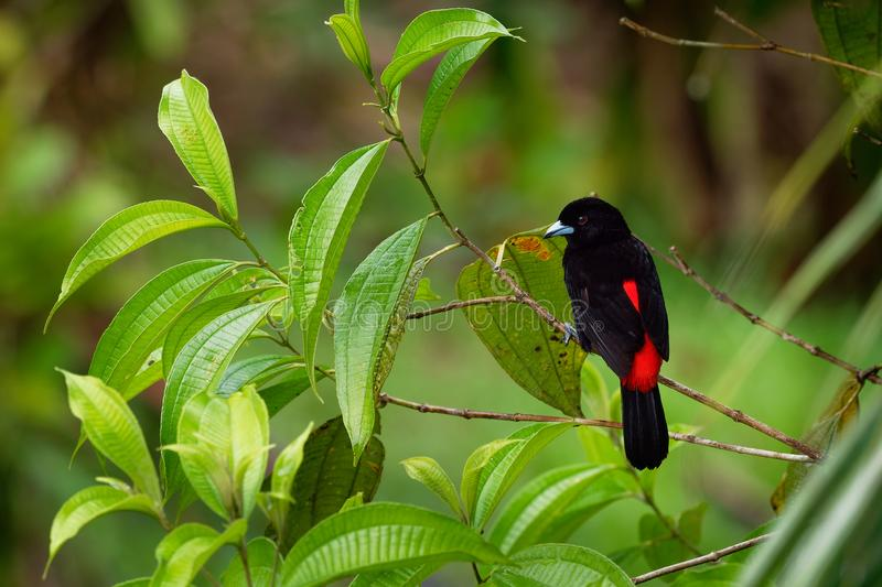 Scarlet-rumped Tanager - Ramphocelus passerinii medium-sized passerine bird. This tanager is a resident breeder in the Caribbean royalty free stock image
