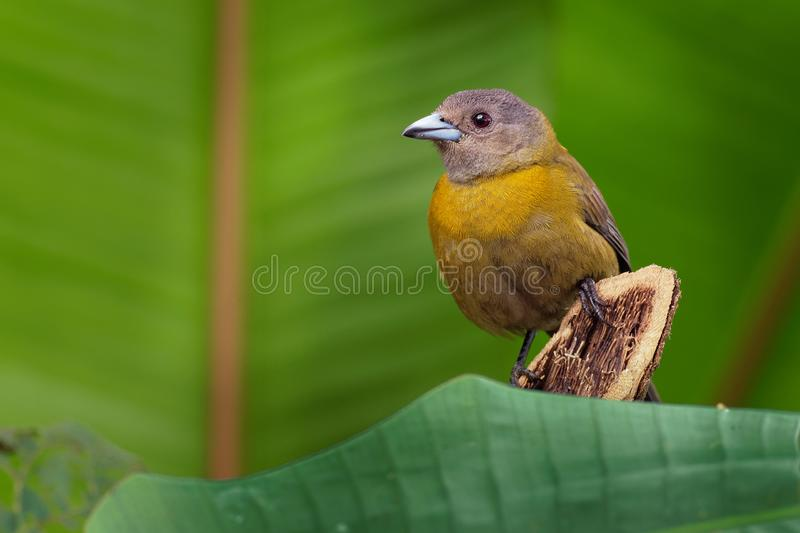 Scarlet-rumped Tanager - Ramphocelus passerinii medium-sized passerine bird. This tanager is a resident breeder in the Caribbean stock images