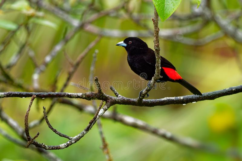 Scarlet-rumped Tanager - Ramphocelus passerinii medium-sized passerine bird. This tanager is a resident breeder in the Caribbean royalty free stock images