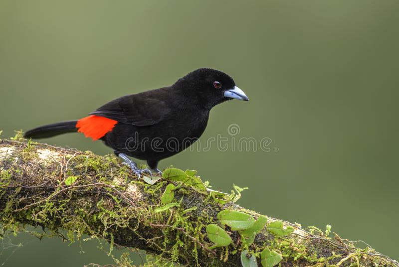 Scarlet-rumped Tanager - Ramphocelus passerinii stock photography