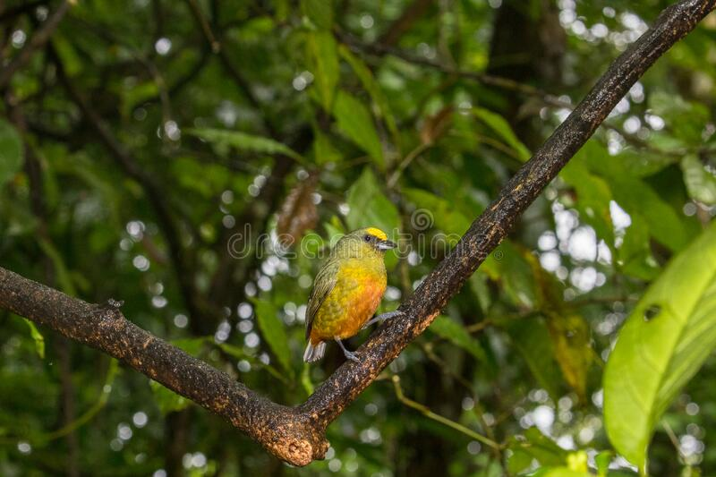 Scarlet-rumped Tanager Ramphocelus passerinii in a tree in La Fortuna, Costa Rica royalty free stock image