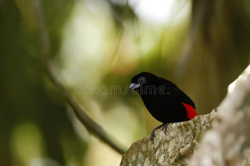 Scarlet-rumped Tanager sitting on tree in tropical mountain rain forest in Costa Rica, clear and green background, small songbird royalty free stock photo