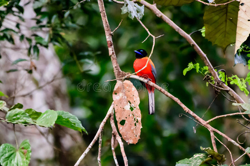 Scarlet rumped Trogon on a branch royalty free stock images