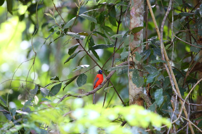 Scarlet-rumped Trogon stock photography