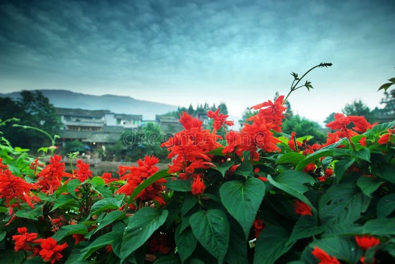 Scarlet sage liujiang town in China royalty free stock images