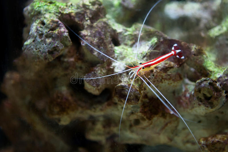 Scarlet Skunk Cleaner Shrimp stock photography