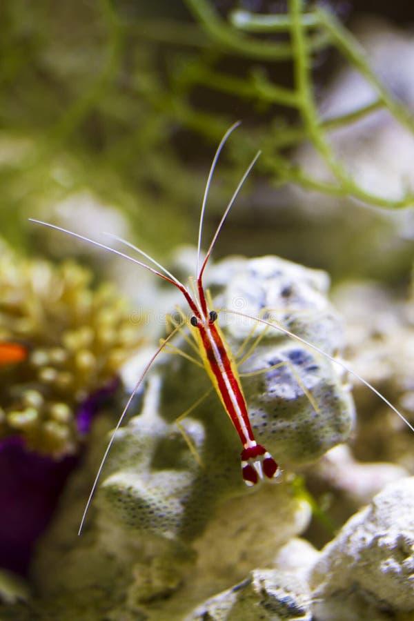 Scarlet Skunk Cleaner Shrimp stock photo
