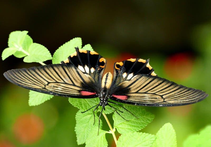 Scarlet Swallowtail. Free Public Domain Cc0 Image