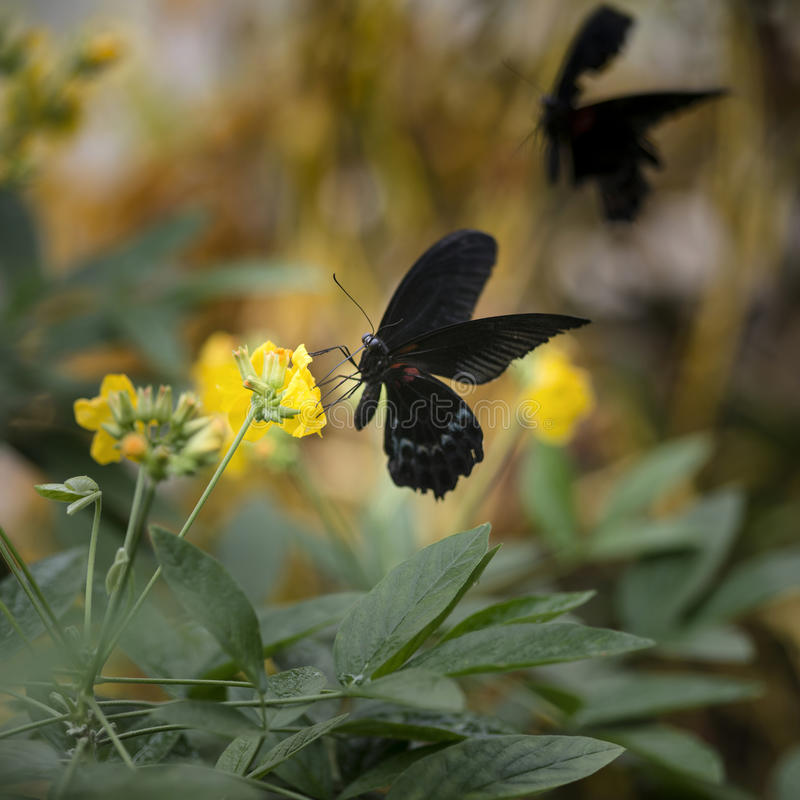 Scarlet swallowtail butterfly on bright yellow flower with other. Beautiful Scarlet swallowtail butterfly on bright yellow flower with other butterfly flying in stock photo