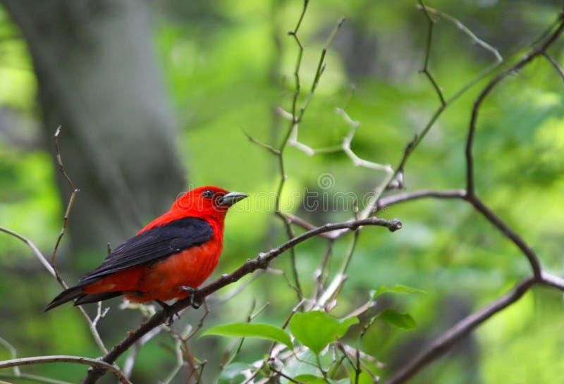 Scarlet Tanager stock photos