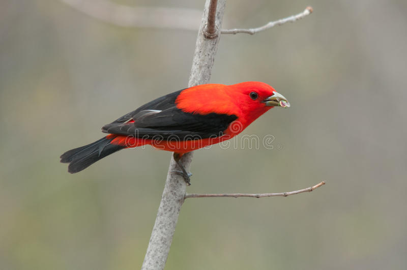 Scarlet Tanager. With freshly caught bug royalty free stock photo