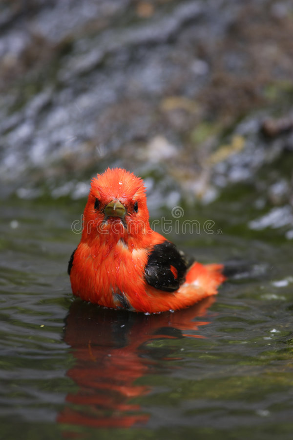 Scarlet Tanager (Piranga olivacea) stock photography